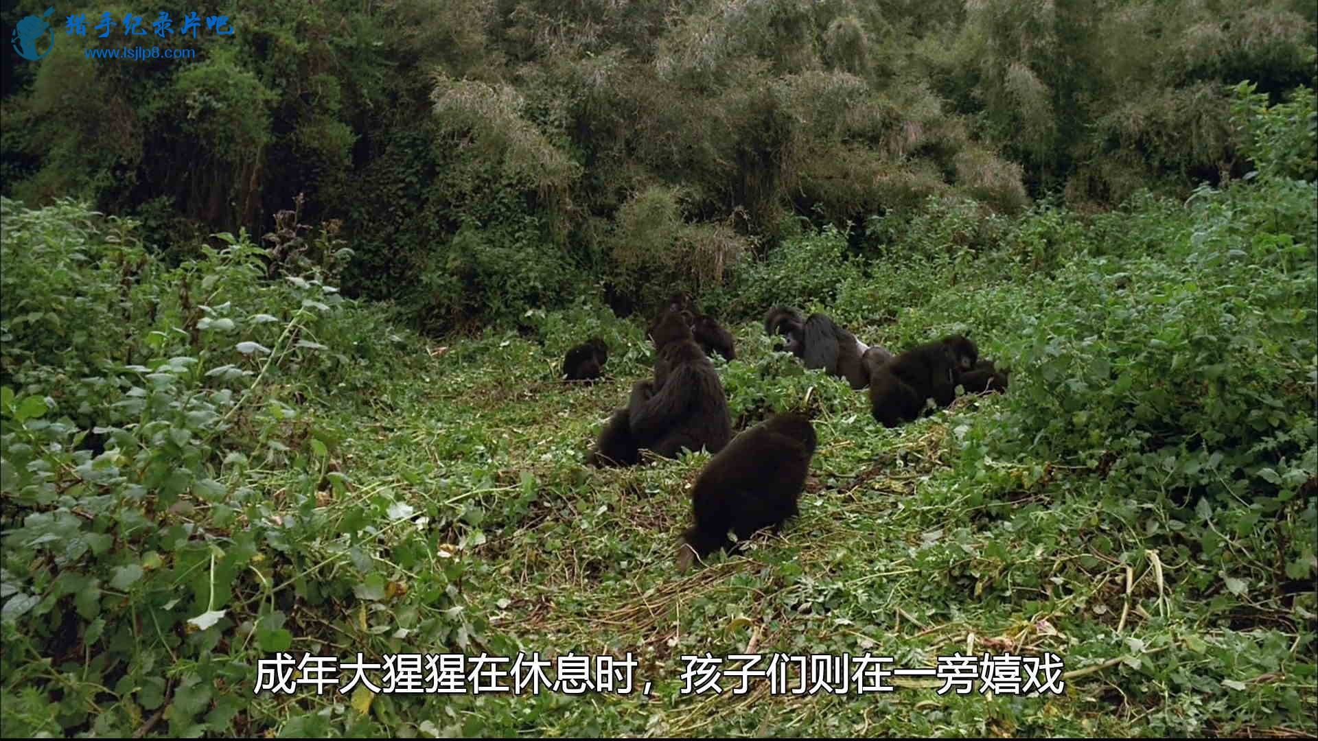 IMAX.Mountain.Gorilla.山地大猩猩.HDTV.H264.1080P.DualAudio.F@Silu.disk1.ts_20200.jpg